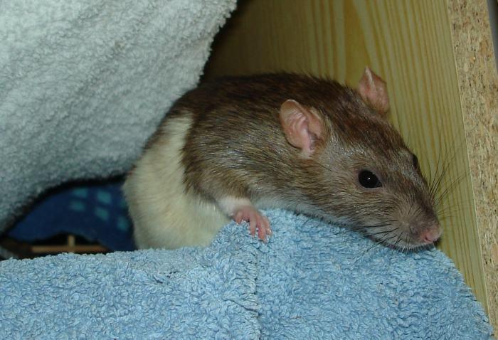RattenLiebe
